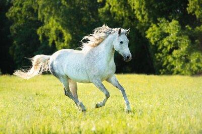 Vinilo Blanco caballo árabe corre al galope en la luz del atardecer
