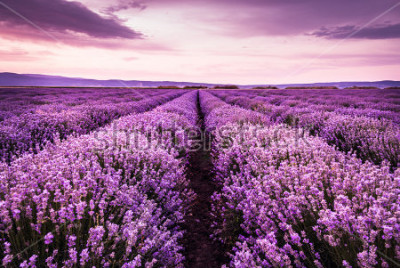 Vinilo Blooming lavender field under the purple colors of the summer sunset