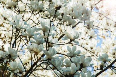 Vinilo Blossoming blanco de flores de magnolia en el tiempo de primavera