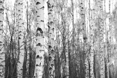 Vinilo Bosque de abedules, foto en blanco y negro