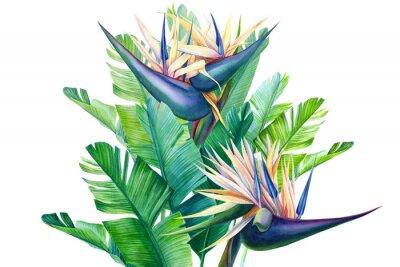 Vinilo bouquet of tropical strelitzia flowers on a white background, watercolor illustration
