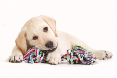 Vinilo Cachorro de Labrador que muerde en un juguete de color
