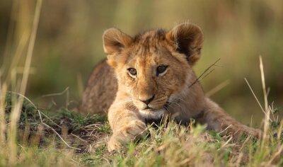 Vinilo Cachorro de león