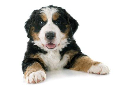 Vinilo cachorro de perro de montaña bernés