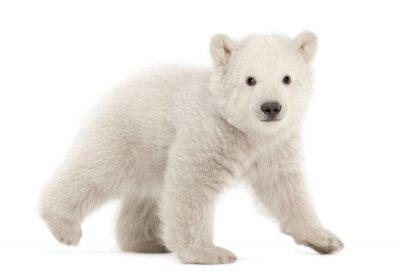 Vinilo Cachorro del oso polar, maritimus del Ursus, 3 meses de edad