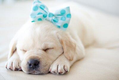 Vinilo cachorro labrador