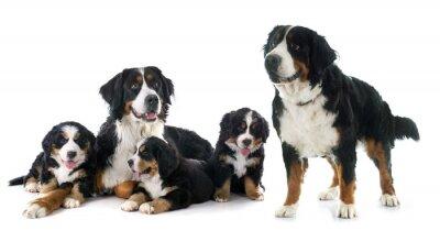 Vinilo cachorros y adultos bernese montaña
