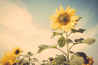 Vinilo Campo de flor de girasol cielo azul retro vintage