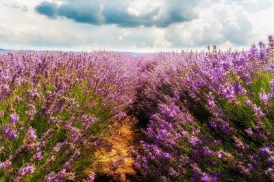 Vinilo campo de lavanda, la Meseta de Valensole, Provence, Francia