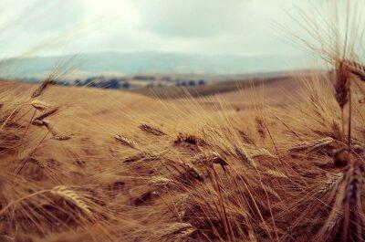 Vinilo Campo di grano