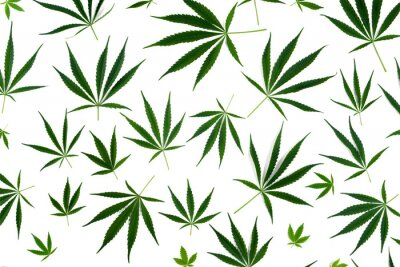 Vinilo Cannabis leaves of different sizes are isolated on a white background.