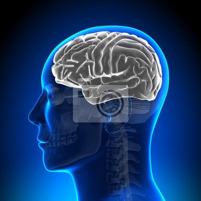 Cerebro anatomía - cerebro en blanco blanco vinilos para portátiles ...