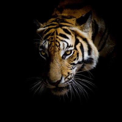 Vinilo close up face tiger isolated on black background