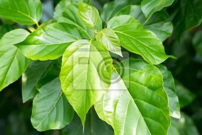 Vinilo Close up hoja verde con la sombra de la luz del sol en el fondo, el concepto de Eco