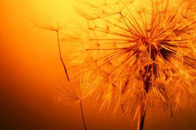 Vinilo close up of beautiful dandelion