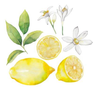Vinilo Colección de limón acuarela