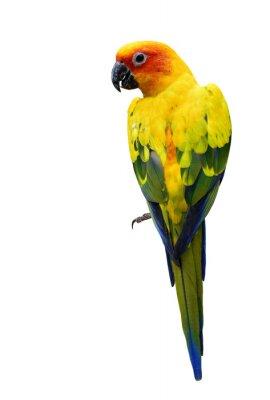 Vinilo Colorido Sun Conure, el o aislado hermoso loro pájaro amarillo
