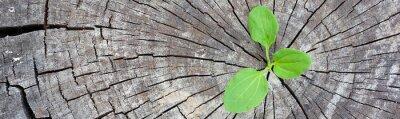 Vinilo Concepto de la ecología. Plátano de brote de madera vieja y simboliza la lucha por una nueva vida, bandera de diseño fronterizo panorámica.