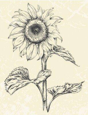 Vinilo Dibujado a mano de girasol con hojas de ans vástago aislado en fondo de textura