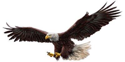 Vinilo Dibujo de vuelo de águila calva y pintura sobre fondo blanco ilustración vectorial.