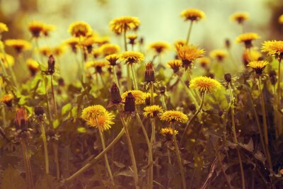 Vinilo Diente de León flores al atardecer contra el cielo. Corrección de color vintage