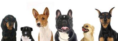 Vinilo Diferentes razas de perros pequeños a
