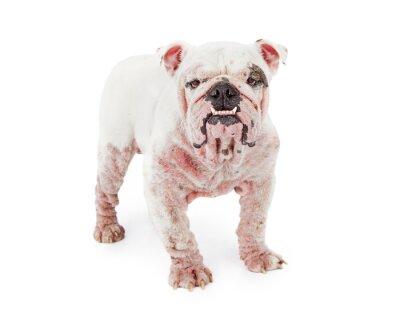 Vinilo Dog With Demodectic Mange