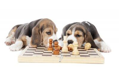Vinilo dos cachorros beagle jugando al ajedrez en un fondo blanco en el estudio
