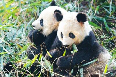 Vinilo Dos osos de panda que comen el bambú, sentándose de lado a lado, China