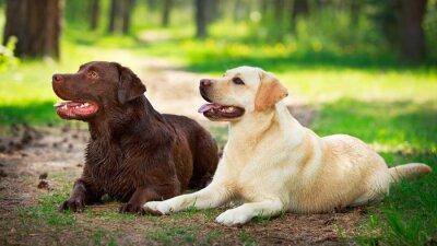Vinilo dos perros labrador retriever