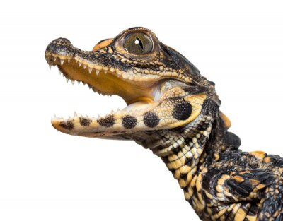 Vinilo Dwarf crocodile against white background