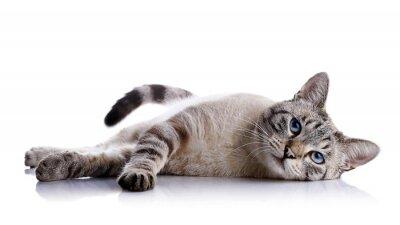 Vinilo El gato de ojos azules a rayas encuentra sobre un fondo blanco.