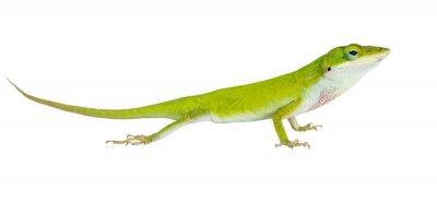 Vinilo El lagarto Anole Verde Norte (Anolis carolinensis carolinens