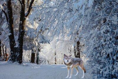 Vinilo El magnífico lobo polar blanco vino a cazar