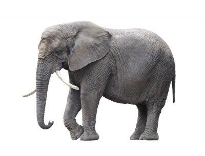 Vinilo Elefante africano aislado en blanco con trazado de recorte