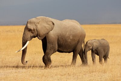 Vinilo Elefante africano con el becerro, el Parque Nacional de Amboseli
