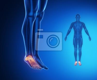 Exploración de rayos x anatomía hueso del tobillo vinilos para ...