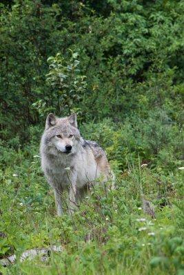 Vinilo Female grey wolf in an open meadow near Golden, British Columbia