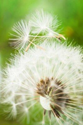 Vinilo Flor de diente de león con dos semillas en la parte superior
