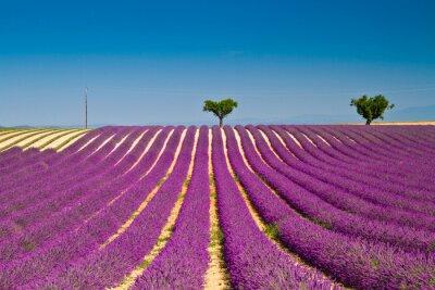 Vinilo Flor de lavanda floración de campos perfumados