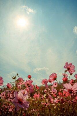 Vinilo Flor del flor del cosmos en jardín
