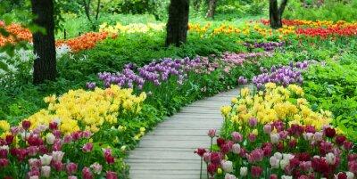 Vinilo Floración de tulipanes en el jardín