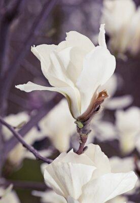 Vinilo Flores blancas de la magnolia