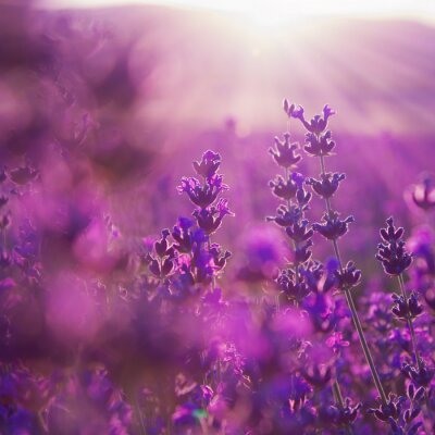 Vinilo flores de campo de lavanda