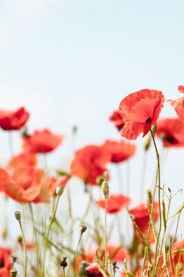 Vinilo Flores de la amapola retro pacífica de antecedentes de verano