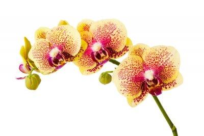 Vinilo Flores de la orquídea aisladas sobre fondo blanco.