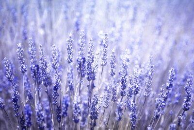 Vinilo Fondo florecido florecido hermoso del primer de las plantas de lavanda. Filtro de color azul violeta y enfoque selectivo utilizado.