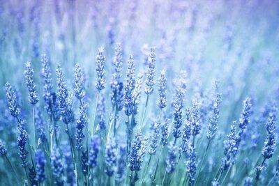 Vinilo Fondo florecido florecido hermoso del primer de las plantas de lavanda. Filtro de color violeta azul y enfoque selectivo utilizado.