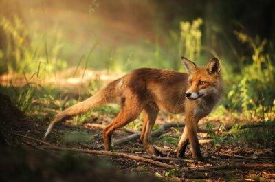 Vinilo Fox en el bosque de verano