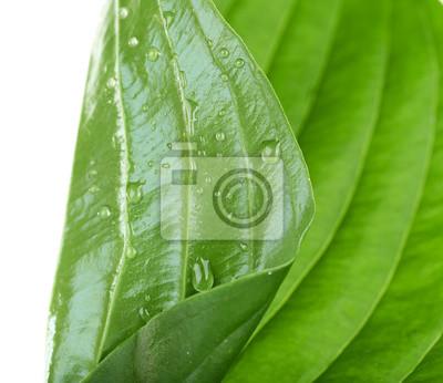 Vinilo Fresca hoja verde con gotas sobre fondo blanco